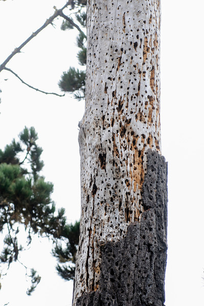 This dead tree, riddled with holes, looks like it should fall over any minute.  But it's actually very important to Acorn Woodpeckers as a place to store food.  We saw several of these trees, known as granary trees, on our trip to Oregon and California.  The woodpeckers make the holes and pound acorns into them. A tree like this will be used for many years and new holes will be added as necessary.  This photo was taken in Pacific Grove, California.