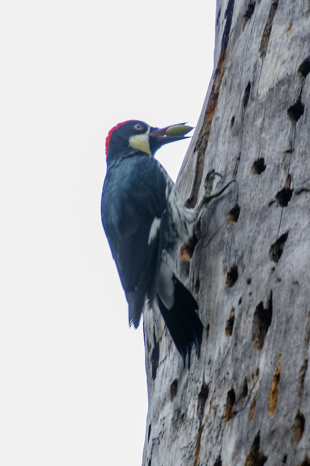 This woodpecker is looking for just the right hole in the granary tree.  The acorn needs to fit snugly into the hole so it won't fall out.  Notice that the acorn is still green; it will ripen while it's stored in the hole.  Sometimes an acorn will shrink as it ripens.  If it gets too loose, the woodpecker will move it to a smaller hole.