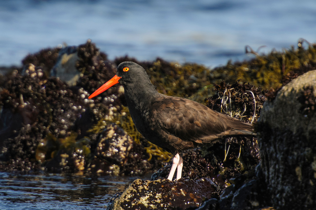 In the United States, we have two species of oystercatchers.  This is a Black Oystercatcher and I photographed it in Pacific Grove, California, during our west coast trip last October.  At 17½ inches (the same size as a crow), it is a large, stocky shorebird.  Only the head is pure black; the rest of the body is dark brown.  It has a long, thin, bright red bill.  Its yellow eyes are surrounded by thin rings of red feathers.