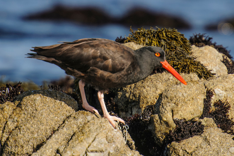 Black Oystercatchers have short, sturdy, pink legs.  They are birds of the Pacific coastline and they range from Alaska to California.  Their main food items are mussels and marine worms but they will eat Limpets and other shellfish.  That knife-like bill comes in handy for prying open mussels and shellfish.