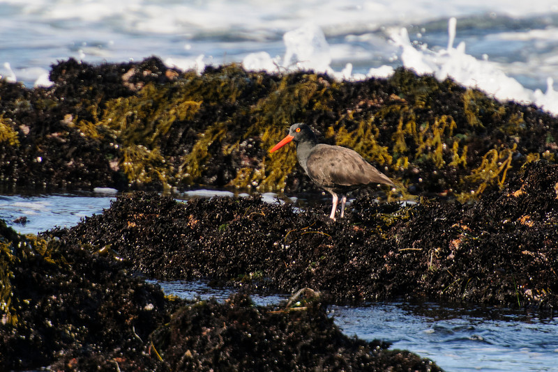 Here's the Black Oystercatcher's habitat: rocky, coastal shoreline.  This oystercatcher is standing on a bed of mussels.  For the most part, these birds are year-round residents.  Food is the most important factor for them and mussels are always available.