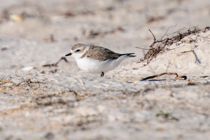I also found some Snowy Plovers at St. George Island State Park.  I walked along the beach and found 13 of them, one of the largest groups I've seen.  This bird is still in winter plumage but others were in various stages of molting.