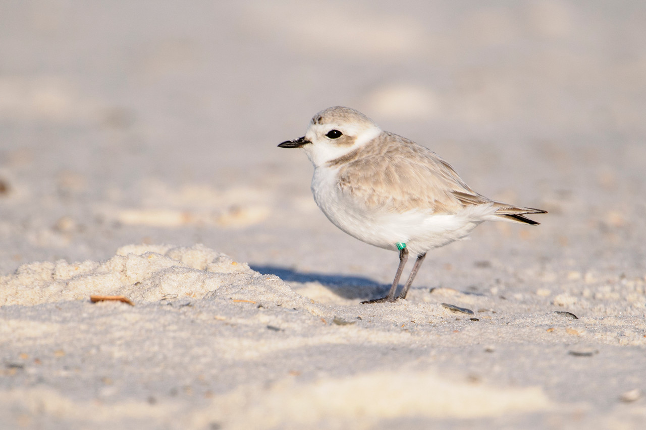 Snowy Plovers are tiny (6½ inch) shorebirds.  Here's one of the six Snowys that I saw at Perdido Beach located at the far western edge of the Florida panhandle.  Their winter plumage is very pale, helping them to blend in with the beach sand.  This bird is just starting to molt into its summer plumage; note the few darker feathers on its forehead.