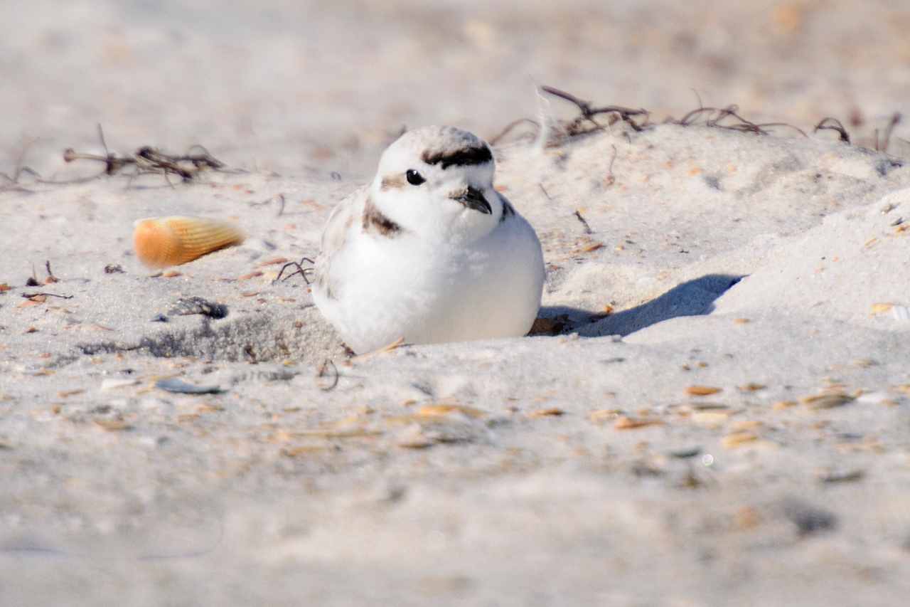 Snowy Plovers are so small they almost disappear when they hunker down in a shallow depression in the sand.