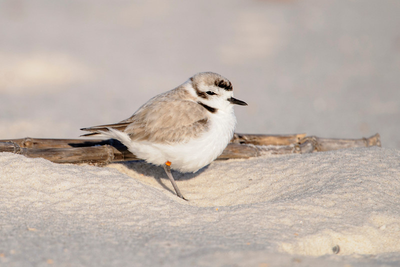Here's another Snowy Plover from Perdido Beach and it's much further along in getting its summer plumage.  It has darker areas on the forehead, behind the eye, and on the neck.
