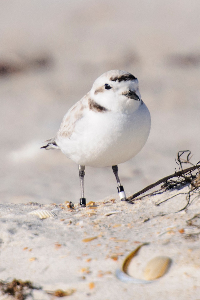Many Snowy Plovers have been banded.  This one has two bands on each leg.  The left leg has a black band and a white band.  The right leg has an obvious black band but it also has a silver band above the leg joint.