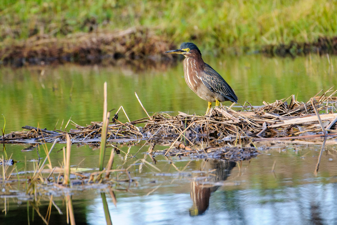 It's been pretty wet this year in northern Florida so ponds have formed in areas that are usually dry.  We are staying on St. George Island and this Green Heron was exploring a pond where the causeway leads onto the island.  Green Herons are small compared to other North American herons; 18 – 22 inches, just larger than a crow.