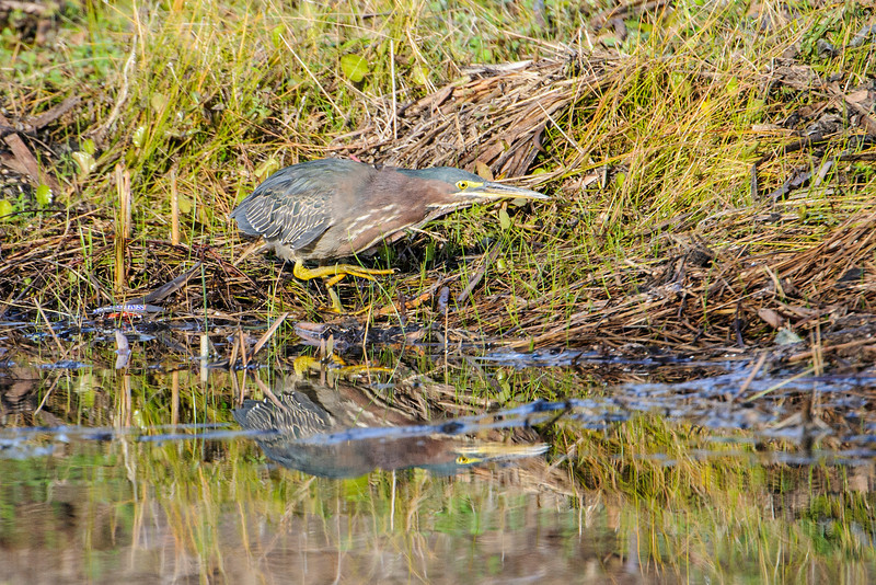 Green Herons eat mostly small fish and aquatic insects.  But they are opportunistic and will also take frogs, tadpoles, grasshoppers, snakes, and small rodents.  This heron was very intense as it stalked its prey.  We watched for about 10 minutes but didn't see it actually catch anything.