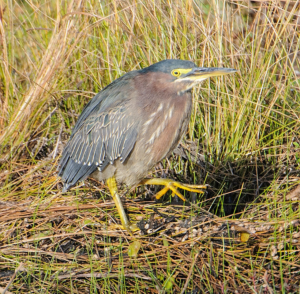 They have very large feet which are helpful in walking across lily pads and other pond vegetation as they pursue their prey.  Green Herons have been known to drop a small stick or a feather into the water to lure fish close enough to be caught.