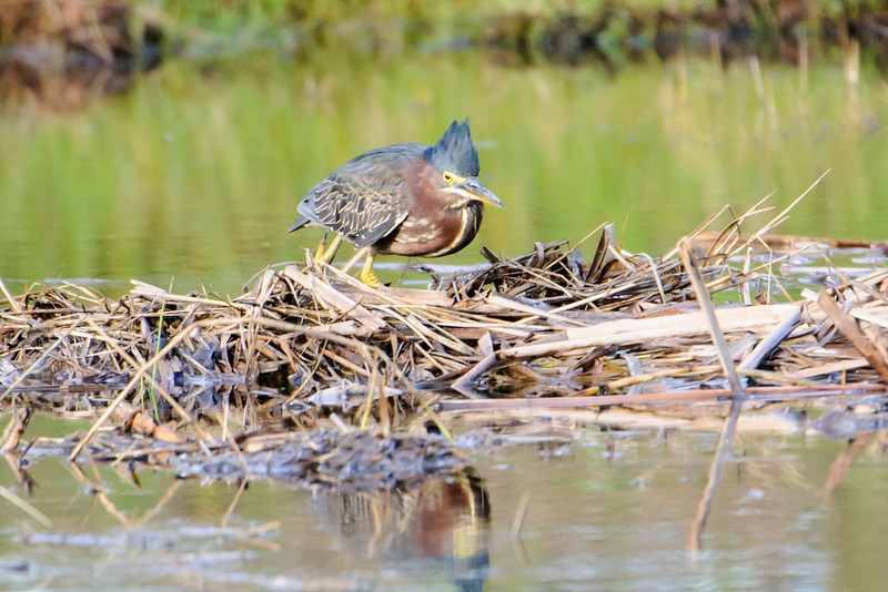 The feathers on a Green Heron's head can be raised to form a crest, as shown in this photo.  In summer, these birds can be found in many small ponds all across the eastern half of the United States.  In winter they migrate south.  Some stay along the Gulf Coast but others go as far as South America.