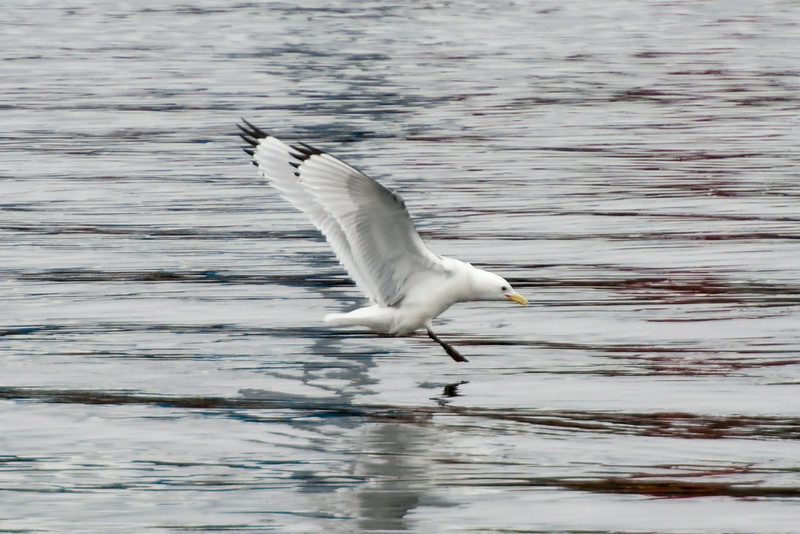 The plumage of most gulls is some combination of white, black, and gray.  The similarities between species can make them hard to identify.  This Kittiwake, landing in the harbor, shows some characteristics unique to its species.  Note the particular pattern of gray feathers under the wing, the small, all yellow bill, the black wingtips with no white spots, and, of course, the black legs.