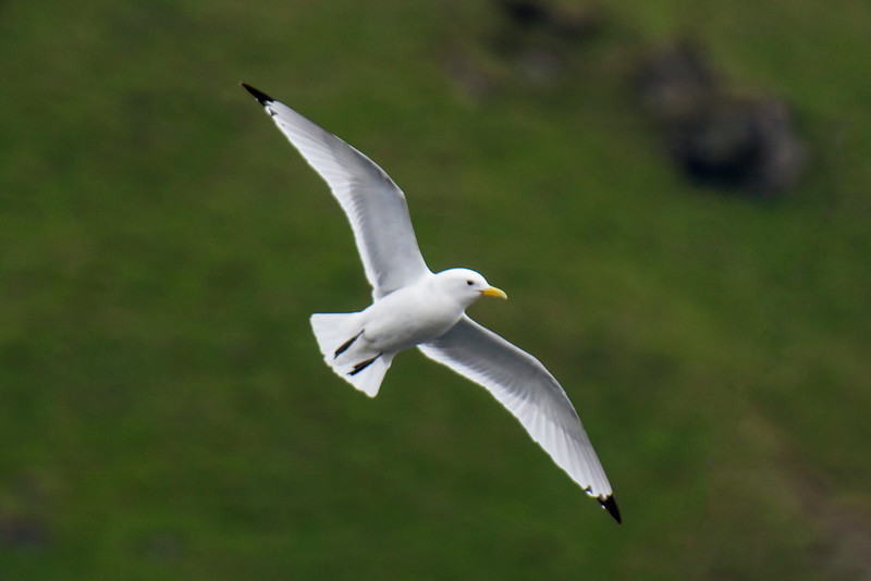 On our trip to Iceland, we saw Black-legged Kittiwakes in many places along the coast.  They were one of the most numerous species seen on this trip.  Kittiwakes are medium-sized gulls, about 17½ inches long.  All of these photos were taken in the harbor at Heimaey Island off the southern coast of Iceland.