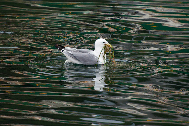 Kittiwakes were swimming around the harbor gathering floating pieces of seaweed to use for nest building.  The colorful patterns in the water are reflections from nearby boats.