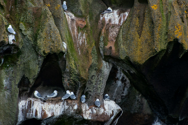 Here's a closer look at some Kittiwake nests.  You can see they don't need a very large space to build a nest.  The moss and fungi that grow on the rocks make this a very colorful, scenic area.