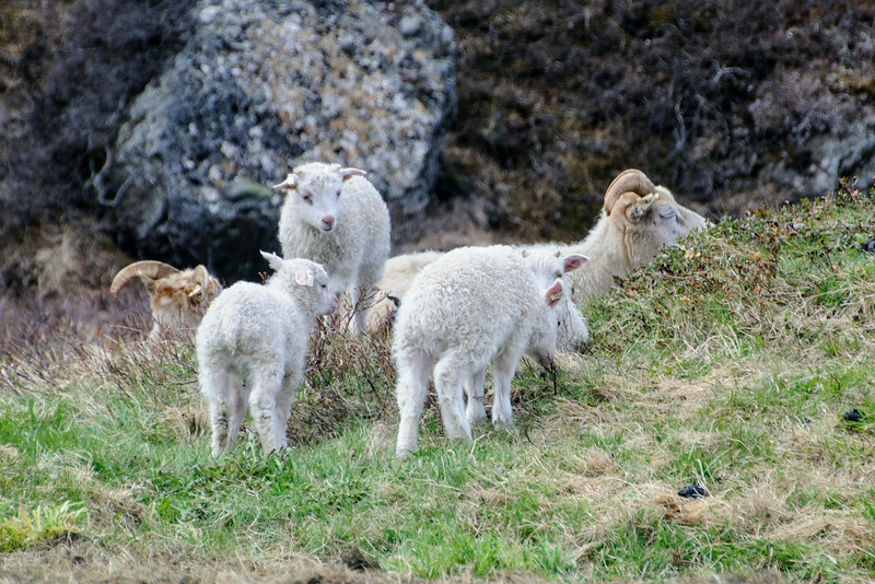 Icelandic sheep roam freely in the hills during summer.  Here's a family of sheep near the road in the <br /> Húsavík area.