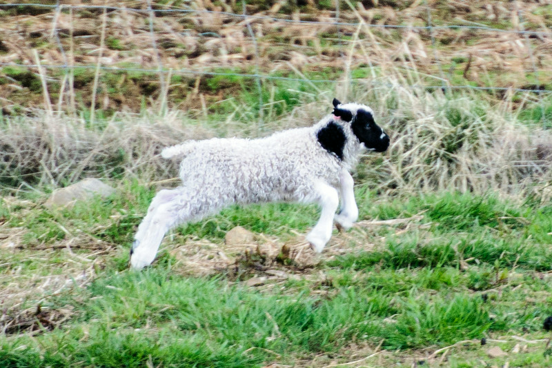 It's fun to watch the energetic little lambs running around in the fields.  This one shows one of the spotting patterns I mentioned above.