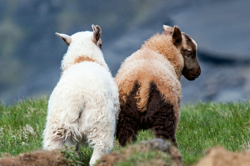 Many sheep are all white but they can also be black or brown.  Different patterns of spots add to the variety of colors of the Icelandic sheep.