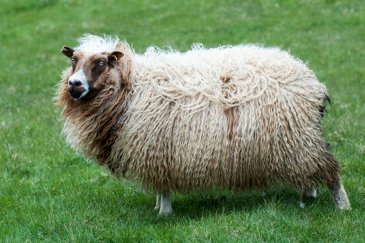 Icelandic sheep are a unique breed.  They are direct descendants of sheep brought to Iceland by the Vikings over a thousand years ago.  Over this long history, the sheep have developed a tolerance for cold, harsh weather.  Sheep are raised mainly for the meat but wool is an important product as well.