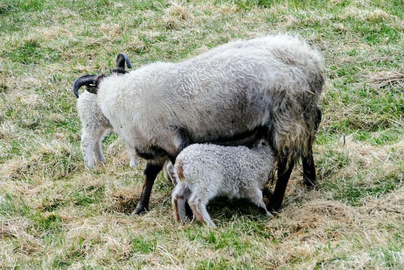 We were in Iceland during the time that lambs were being born.  Many ewes have twins like this one but some even have triplets.
