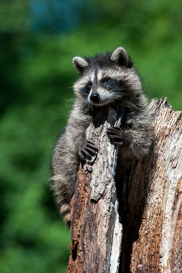 I love the expression on the face of this baby Raccoon.