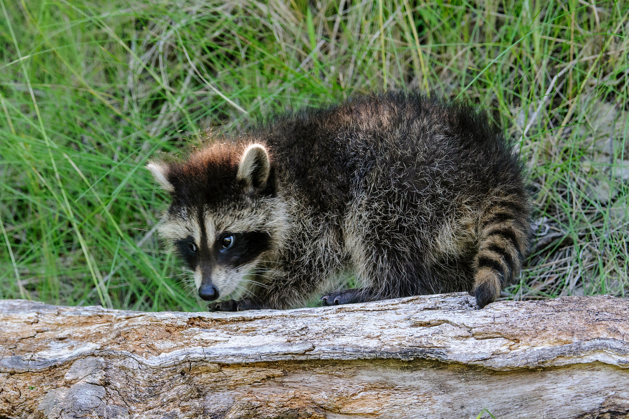 I know Raccoons can be real pests if they start invading your garbage cans.  But when they are small, they are certainly cute.  Who could resist the look on this one's face?