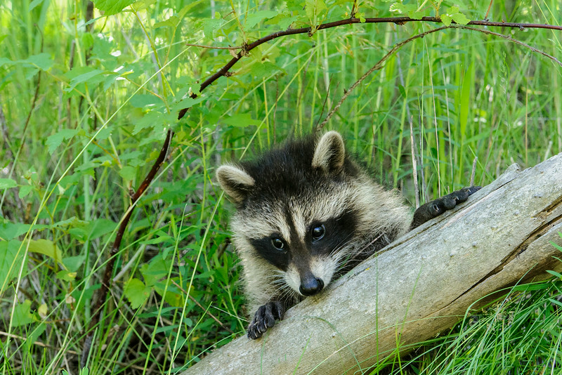 At first the little Raccoons were content to just walk along the big log on which they were placed.  Soon, however, they began to explore their surroundings.  This one popped up a short distance away and peeked over a different log.
