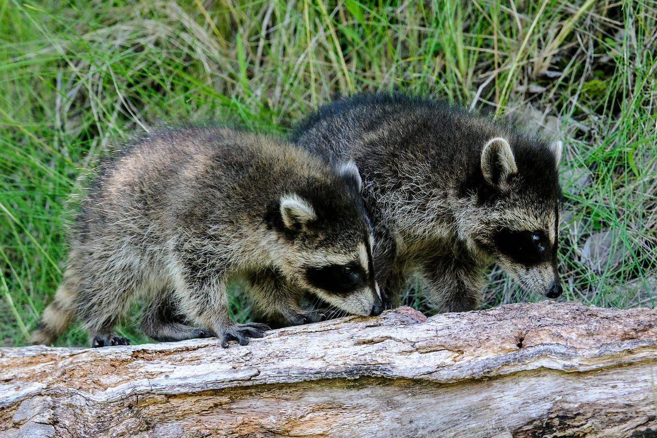 Last week I showed you some wolf pup photos that I took at a workshop.  We also had a chance to photograph these two baby Raccoons.