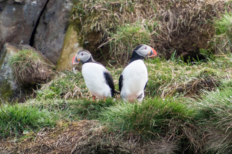 Here's another pair of Puffins.  In the upper right of the photo, it looks like there is a hole which might be the entrance to their nest.  Puffins mate for life and can live over 30 years.  They raise only one chick per year.  We were told that many nests had been unsuccessful for the last few years because of a shortage of Sand Eels, a small fish that is the preferred food for Puffin chicks.