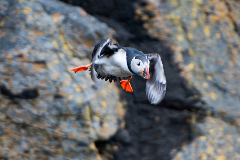 Here's my favorite Puffin photo; the bird decided to fly off the island right in front of our boat.  Puffins are very fast flyers but I managed to get one shot in focus as it flew away.