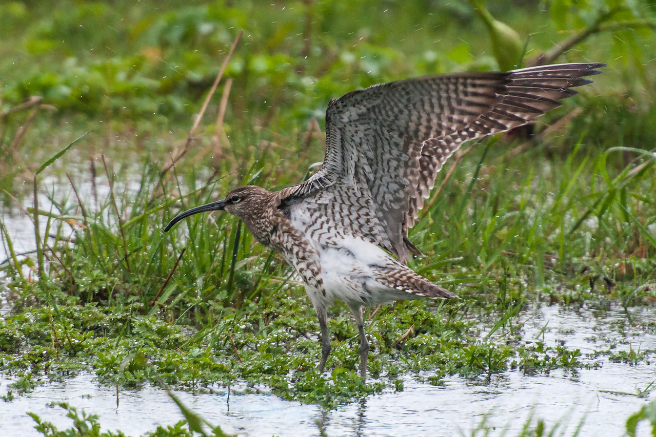 We also see Whimbrels in the United States.  Currently, the birds we see and the ones seen in Iceland are considered the same species.  By stretching its wings, this Icelandic bird shows one field mark that separates it from the Whimbrels that we see.  Notice the white rump and underparts; the birds we see are mottled brown all over.  Who knows, some day they might be declared as separate species and I will have added another life bird without having to return to Iceland.