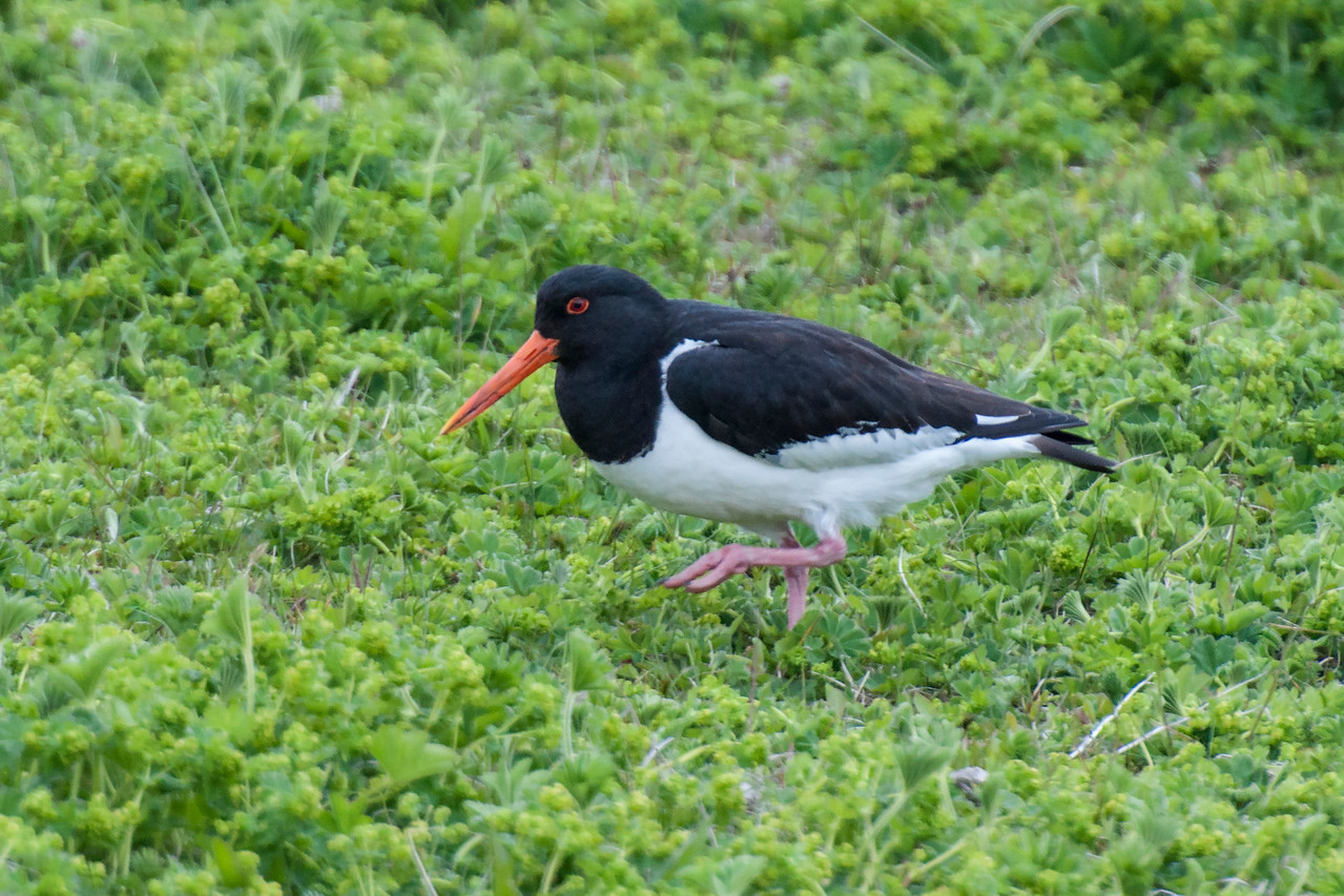 American Oystercatchers are almost always along the sea coast but I saw many more Eurasian Oystercatchers inland than I did along the coast.  This photo was taken on Heimaey Island off the southern coast of Iceland.