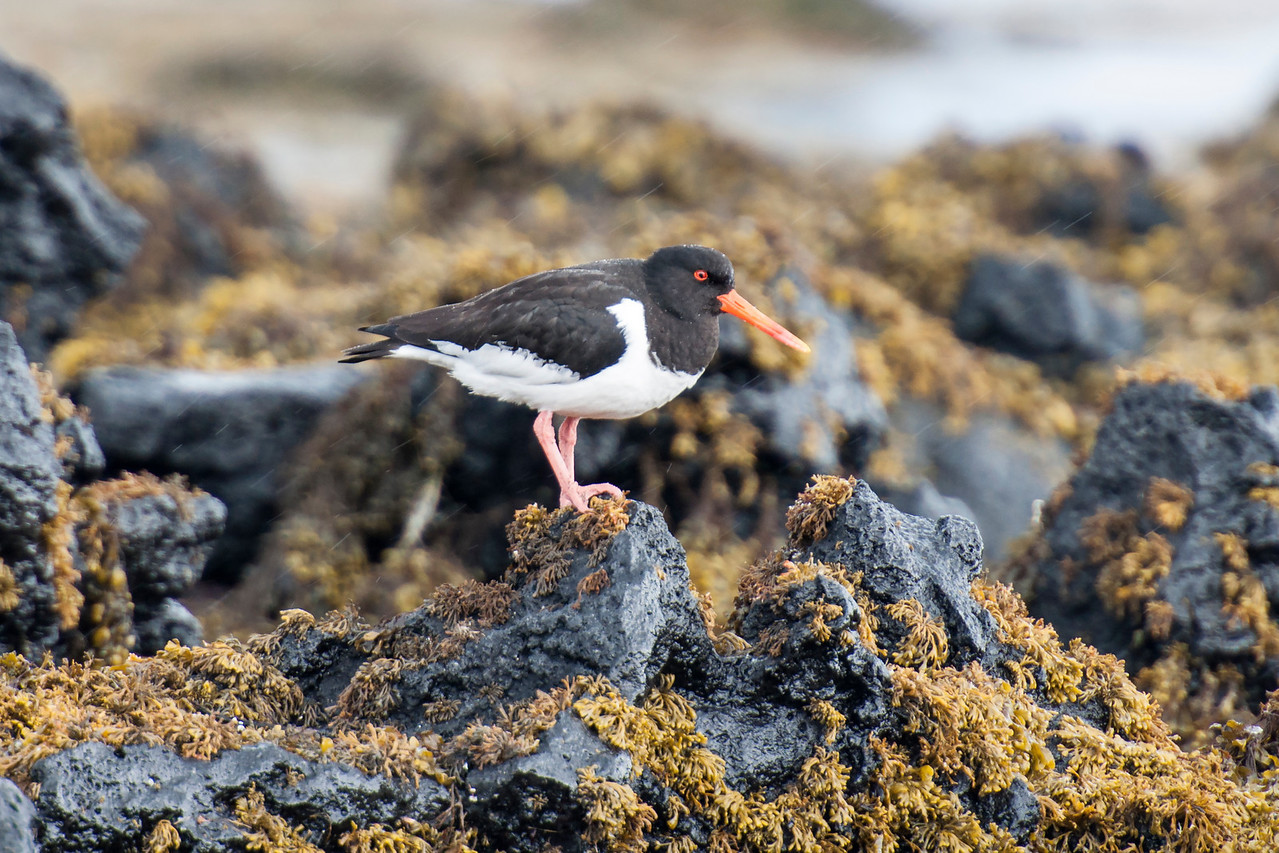 The Eurasian Oystercatcher looks very similar to our American Oystercatcher, but they are considered separate species.  It was on the rocky shoreline near the town of Krossavik.