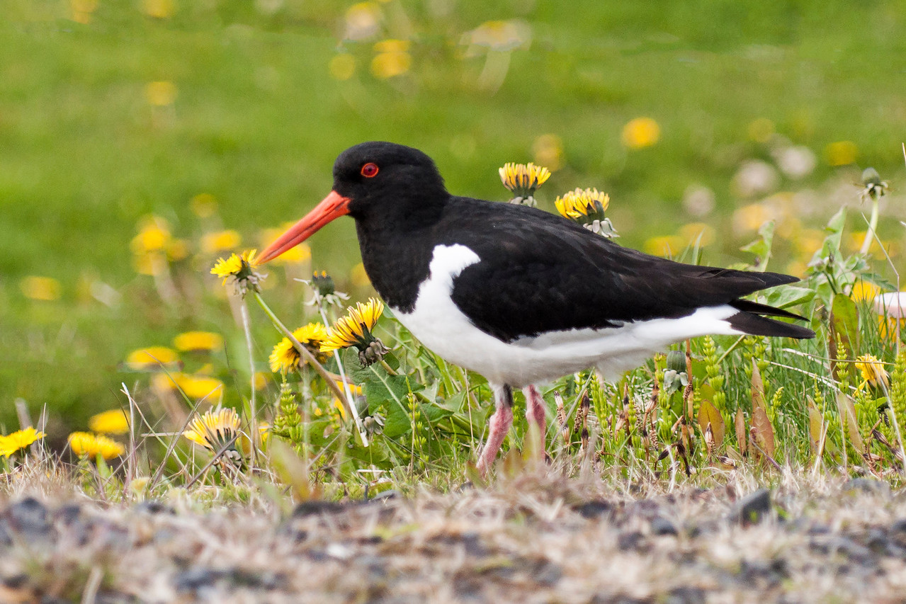 Here's another Oystercatcher on Heimaey Island.  I included this photo to show that dandelions are as common a sight in Iceland as they are here in the United States.