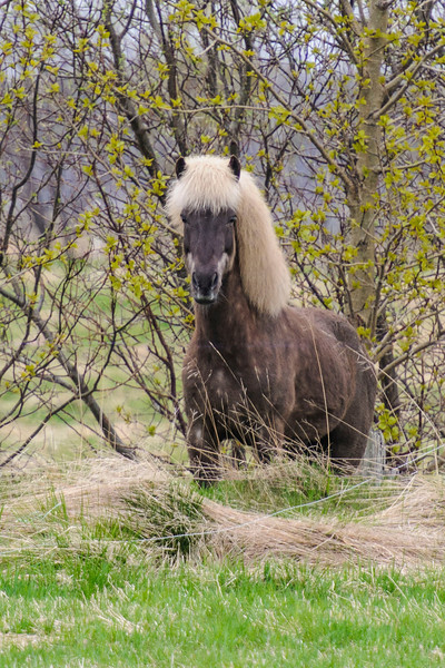 Iceland has its own special breed of horses.  We saw our first Icelandic Horse of the trip near the town of Akranes.  One of the things that caught my eye was the long, full mane of the horse.  This one has a beautiful light-colored mane that contrasts nicely with the color of its body.