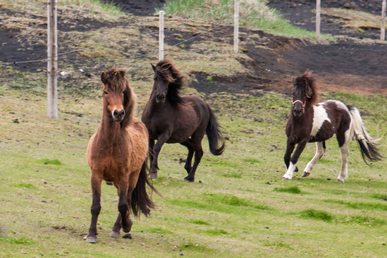 Icelandic Horses come in a wide range of coat colors.  The Icelandic language has over 100 names for the various colors and color patterns.  These horses are strong, well-built, and have very sturdy legs.  They have especially full manes and tails.