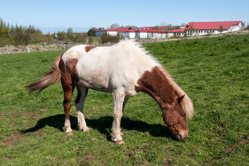 Here's an Icelandic Horse we saw at the Árbær Open Air Museum in Reykjavik, the capital of Iceland.
