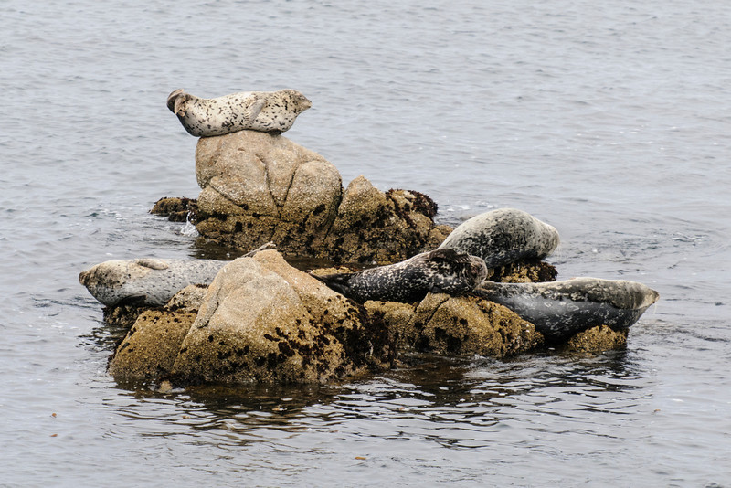 "To us, resting like this on a rock looks very uncomfortable.  But Harbor Seals are often found in this ""banana position"" (head and tail raised.)"