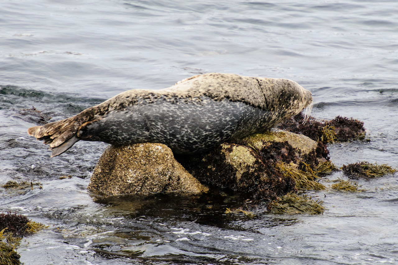 This Harbor Seal was resting on a rock along 3 Mile Drive in Pacific Grove, California.  Its fur looks rather odd, almost looks like it's molting.  Actually, a Harbor Seal's fur is gray and slicked down when it's wet.  But when it dries, it looks brown and fluffy.  This seal had been resting here long enough that part of its fur was dry and part was still wet.