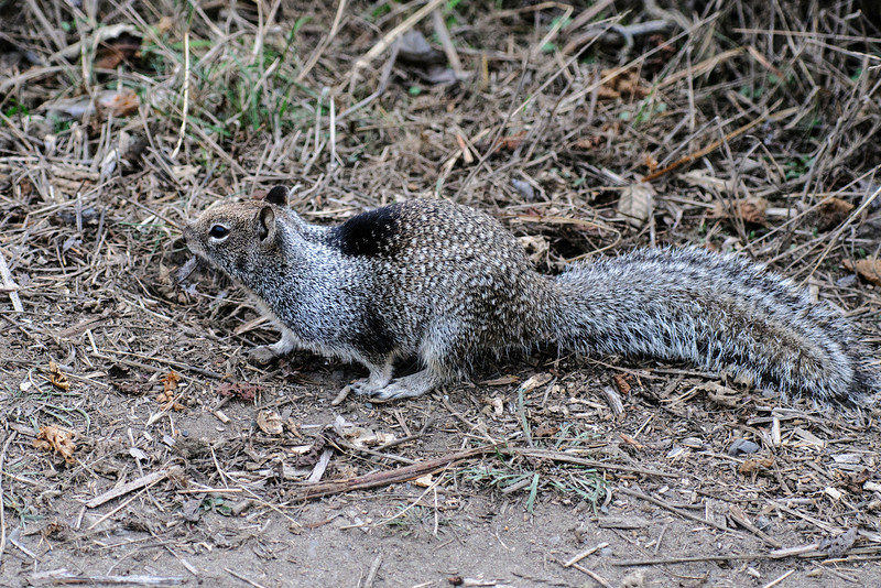 This California Ground Squirrel was at Glass Beach in Fort Bragg, California.  It's about the same size as our Eastern Gray Squirrel.