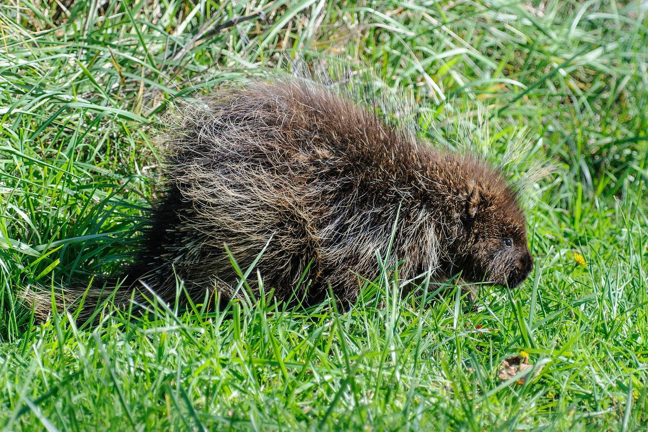 The fact that I still have photos to show you from our west coast trip last fall tells you how great that trip was.  We came across this North American Porcupine at Seven Devils Wayside State Park in Charleston, Oregon.  It was foraging right along the road and paid no attention to us as we stopped and took photos.  Here's an interesting fact about porcupines.  They only have one baby per year and it is born with all of its quills.  Fortunately, the quills are soft and the baby is born head first.