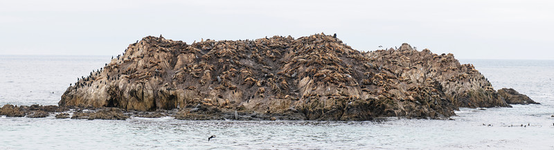 This rock outcropping is located along 17 Mile Drive in Pebble Beach, California.  It's covered with California Sea Lions and Cormorants.  Click on the photo to see a larger version.  California Sea Lions are found along the west coast of Canada, the United States, and Mexico.  I couldn't get the whole rock in one frame of my camera, so I took several overlapping shots and used Photoshop to combine them into this panorama photo.