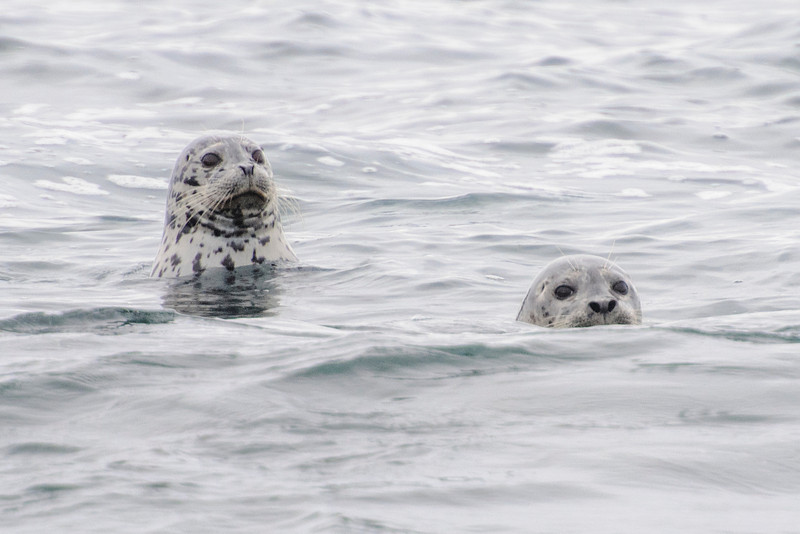 We also found Harbor Seals along 17 Mile Drive.  These two were poking their heads out of the water to see what was happening.