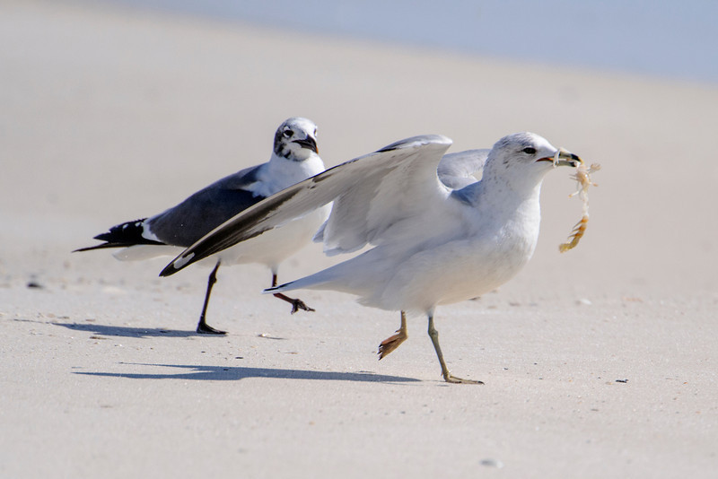 While Diana and I were in Florida, we took a short trip to Gulf Shores, Alabama.  It's right on the Gulf Coast at the western border of Florida.  This Ring-billed Gull caught something (maybe a shrimp) but the Laughing Gull gave chase trying to steal it away.  (It wasn't successful).