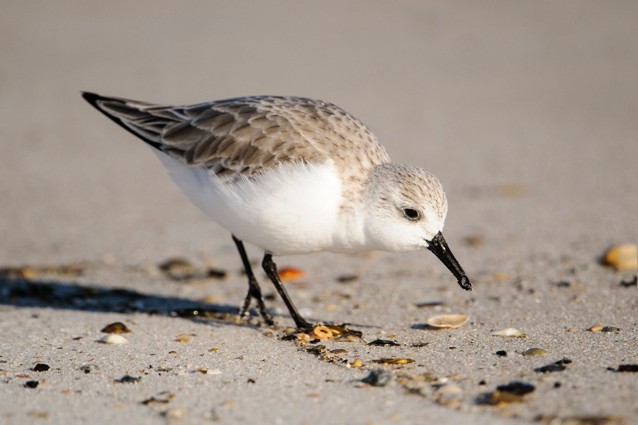 Sanderlings are small (7½ inch) shorebirds and they are abundant along the Gulf Coast in winter.  They look like little wind-up toys as they chase the waves in and out searching for tidbits that are washed up by the water.  It's rare to see them standing still; they're constantly on the move.