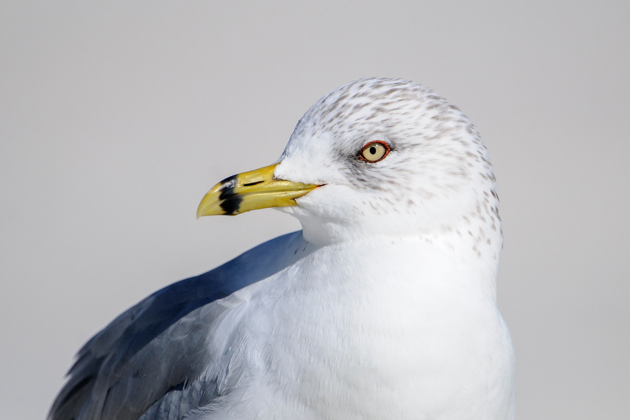 One Ring-billed Gull came close and gave me a chance to take some portrait shots.  The short gray streaks on its head are the only unique feature of its winter plumage.  Very shortly those will go away and the head will be pure white for the summer.  Notice the thin ring of red skin around the eye.  There is also a tiny bit of orange where the bill meets the feathers.  See the next photo for an explanation.