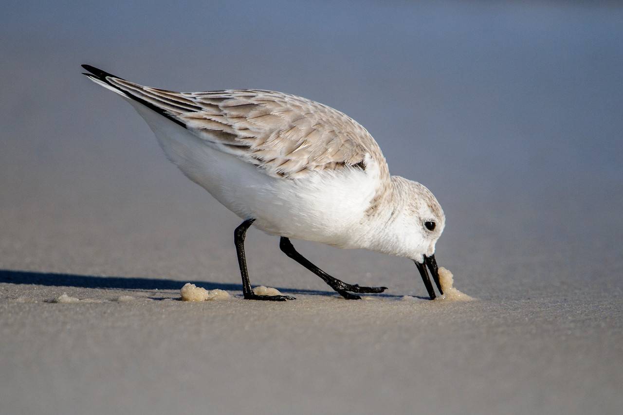 Sometimes Sanderlings push their bills into the sand looking for food.  They leave a trail of tiny sand piles behind.  I wish I knew what they were finding under the sand.