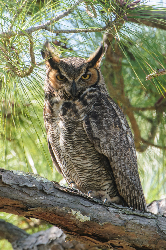 This Great Horned Owl was in the Youth Camp Area at St. George Island State Park.  It was unusual to see it active during the day.  Maybe it already had hungry babies to feed and needed to hunt both night and day.