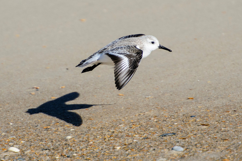 Here's another Sanderling either taking off or landing (I can't remember which).  The shadow is really very interesting.  If I just saw the shadow, I'm not sure I would guess it was a bird.  If I did figure out that it was a bird, the long, thin shadow of the bill would have confused me.  I might have guessed that was the tail and the other end was the head.