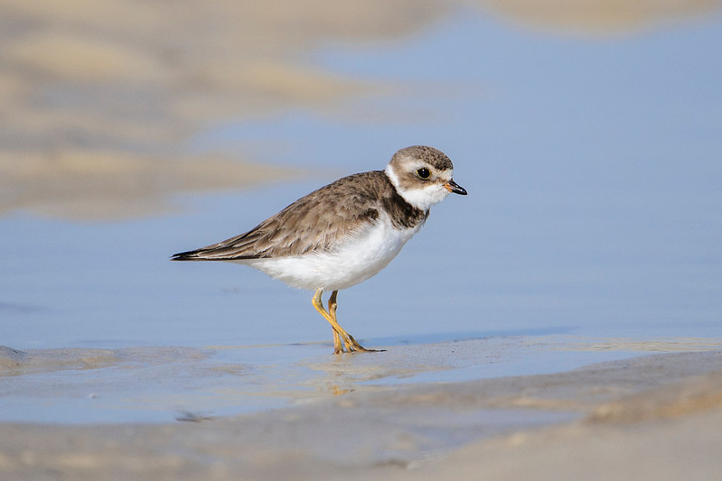 This Semi-palmated Plover was also at the state park.  It looks pretty drab in its winter plumage.  There are a number of changes in its breeding plumage:  It is darker on the back and head and the legs are bright orange; it has a dark band around its neck and another across the eyes; and the bill is more than half orange.