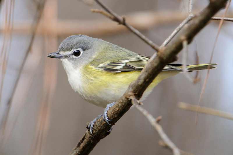 I photographed this Blue-headed Vireo in the Apalachicola National Forest.  It and two other types of vireos used to be considered one species, called Solitary Vireo.  About 15 years ago they were split into three separate species: Blue-headed, Cassin's, and Plumbeous Vireos.  The Cassin's and Plumbeous Vireos are found in the western United States.
